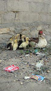 South Sudan Ducks