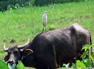 Heron perched on the back of a Carabao.