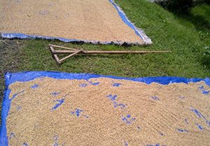 Rice drying on blue tarps